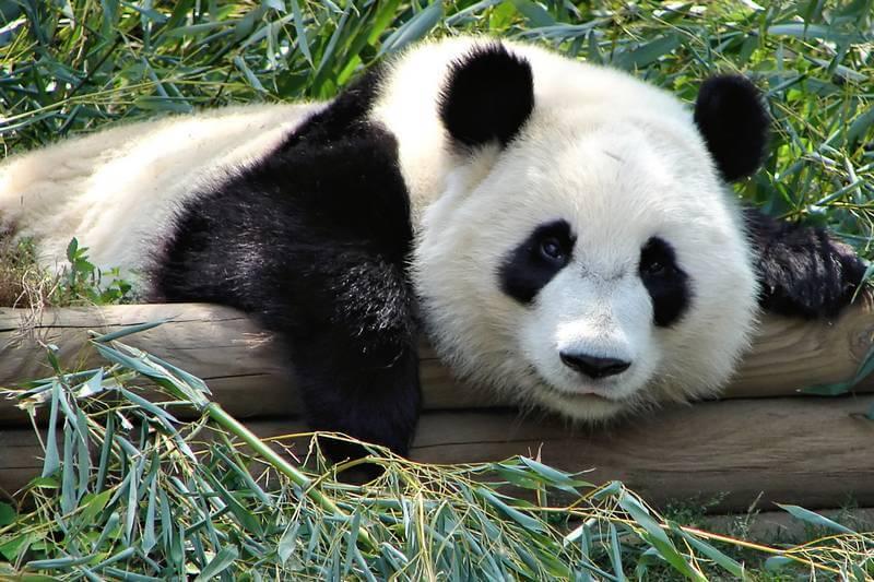Hug a panda